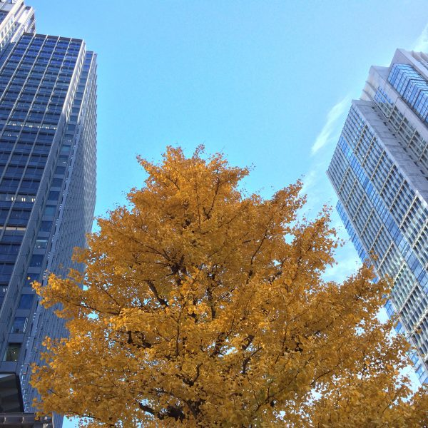 丸ビル・新丸ビルと色づいたイチョウの写真