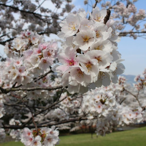 戸倉宿キティパークの桜1の写真