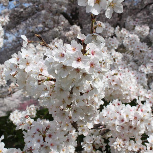戸倉宿キティパークの桜4の写真