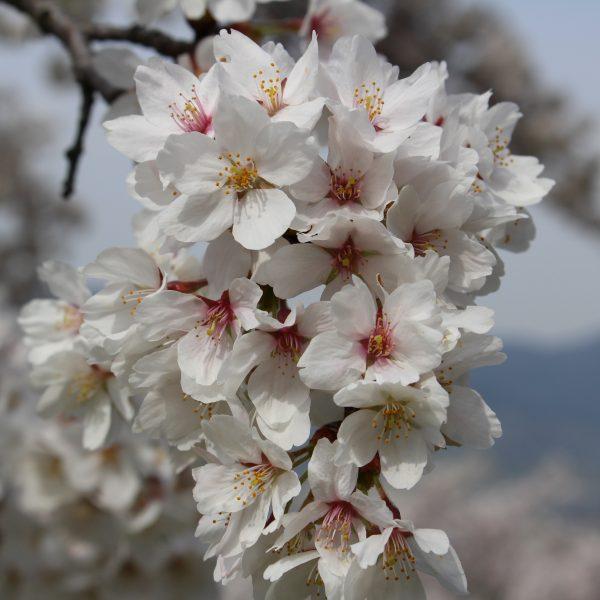 戸倉宿キティパークの桜8の写真