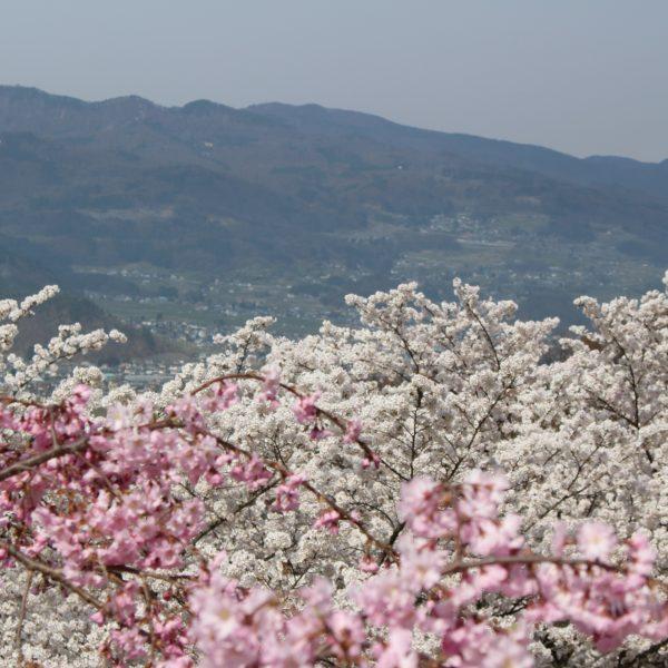戸倉宿キティパークの桜と山並みの写真