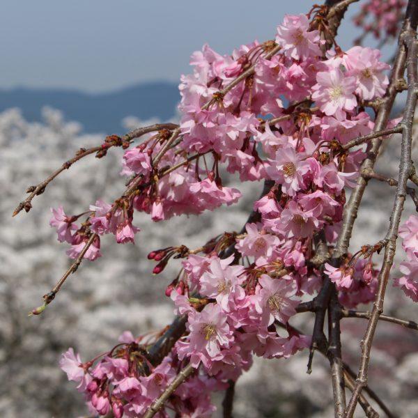戸倉宿キティパークの桜5の写真