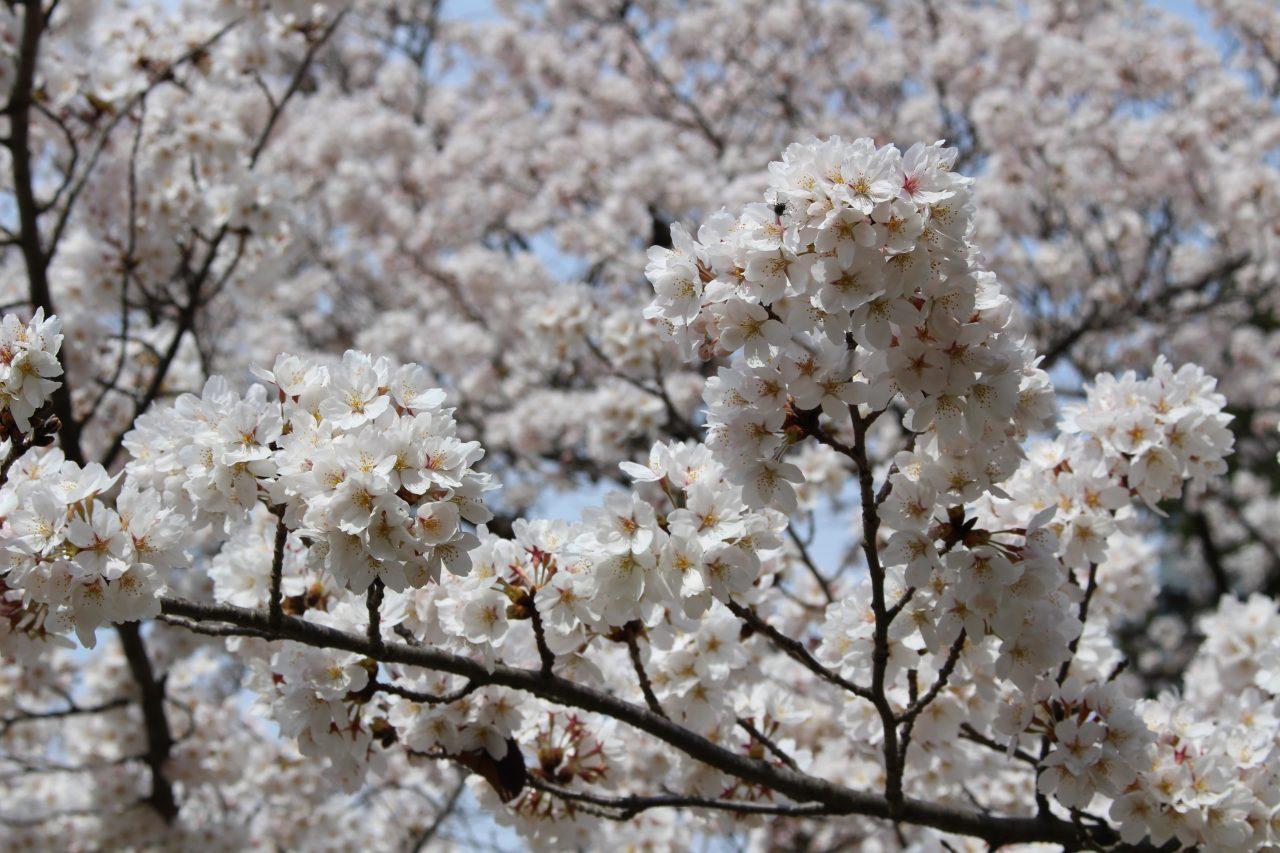 戸倉宿キティパークの桜9の写真