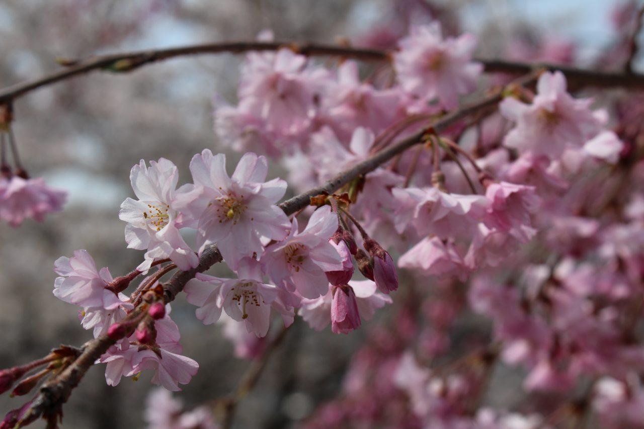 戸倉宿キティパークの桜7の写真