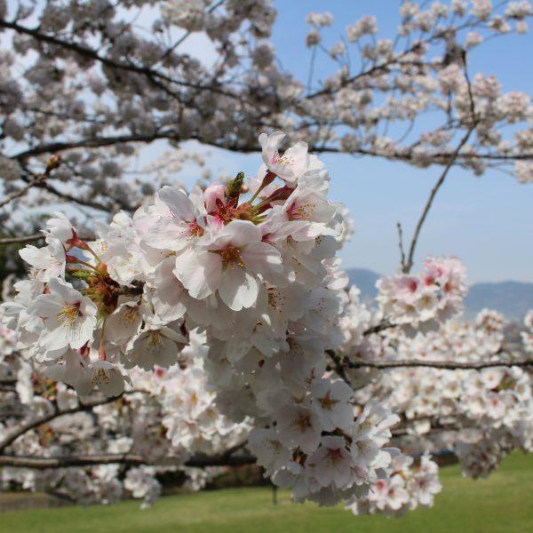 戸倉宿キティパークの桜2の写真