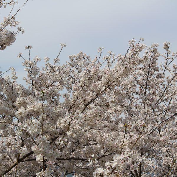 戸倉宿キティパークの桜3の写真