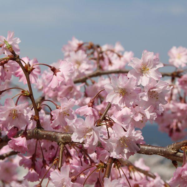 戸倉宿キティパークの桜6の写真