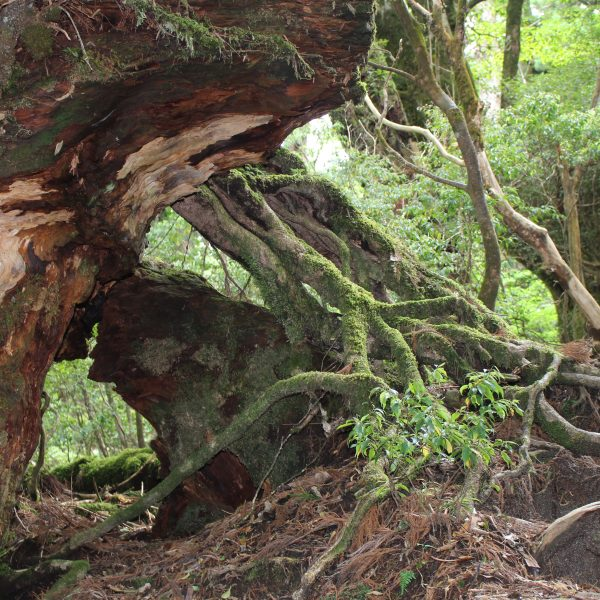 屋久島の巨木の根の写真