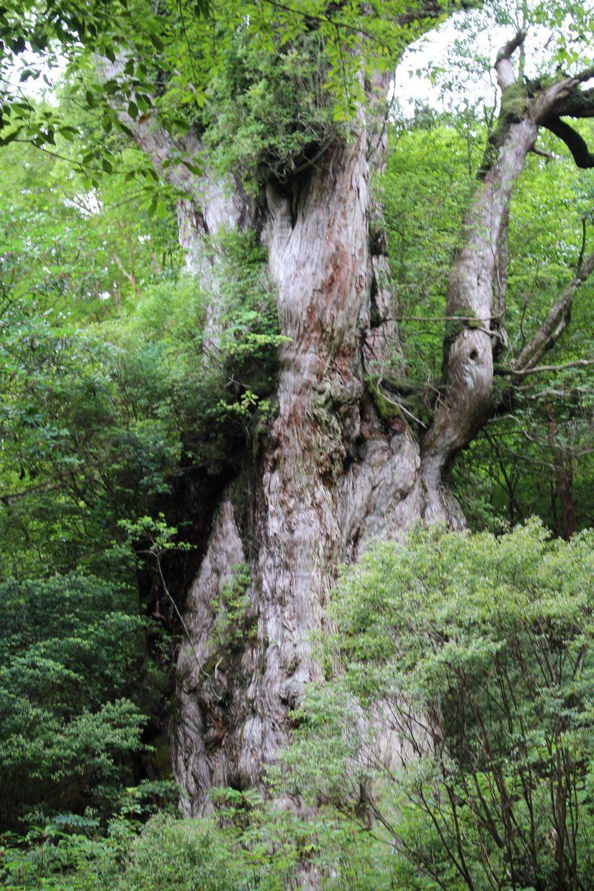 屋久島の縄文杉5の写真