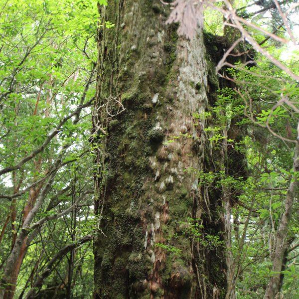 屋久島の森と巨木4の写真