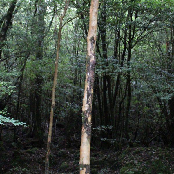 屋久島の森3の写真