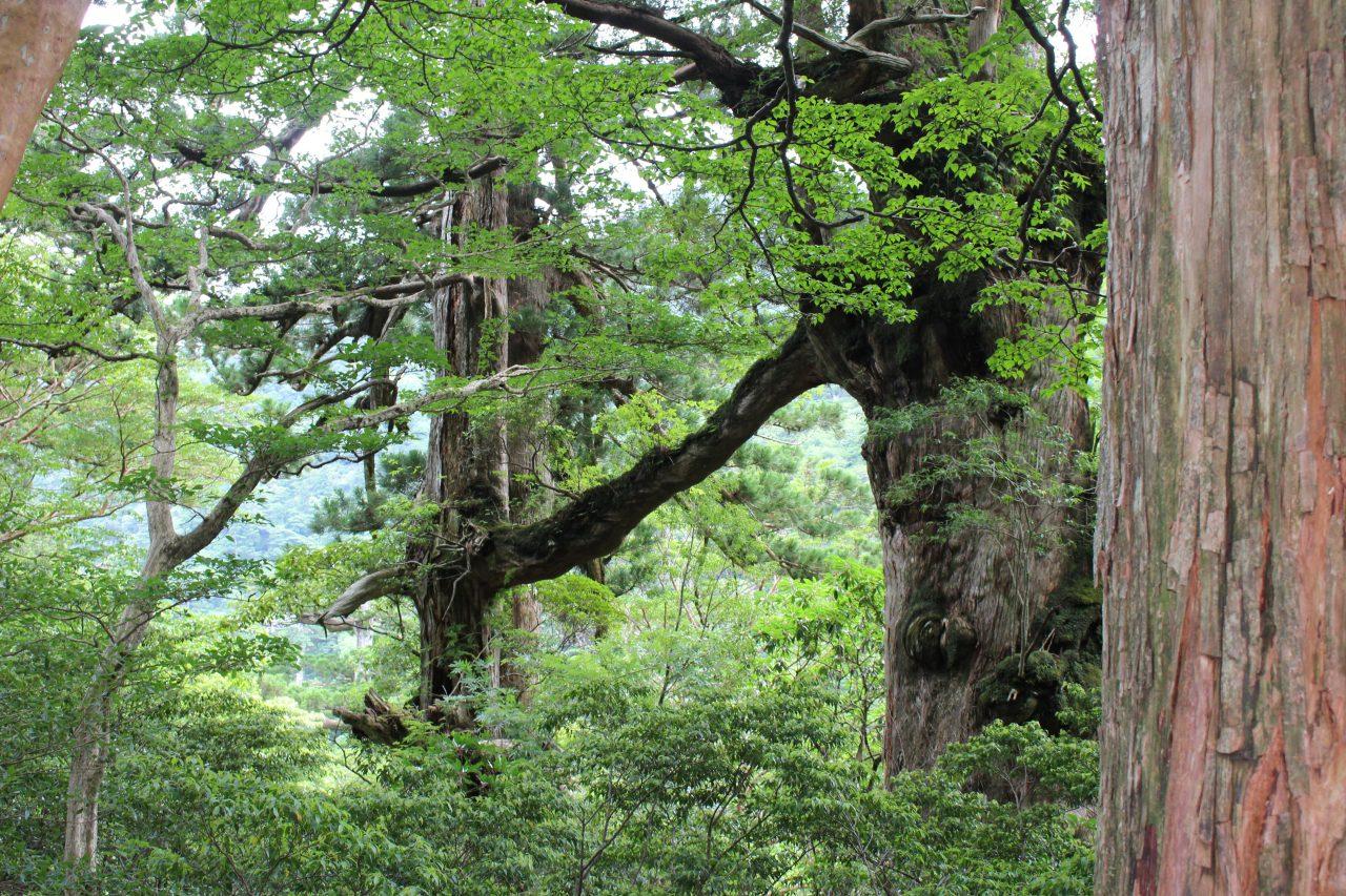 屋久島の夫婦杉2の写真
