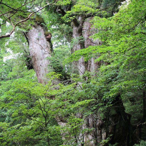 屋久島の縄文杉2の写真