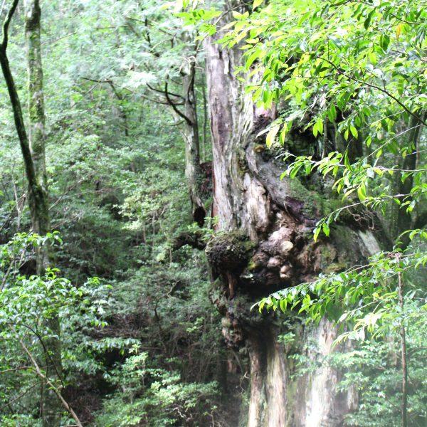 屋久島の森と巨木9の写真