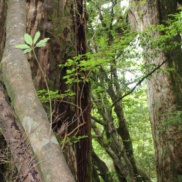 屋久島の森と巨木2の写真