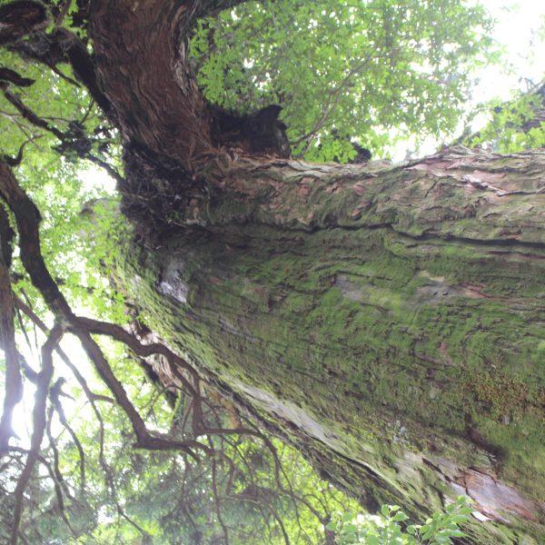 屋久島の森と巨木5の写真