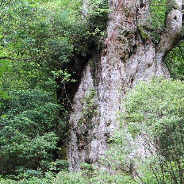 屋久島の縄文杉3の写真