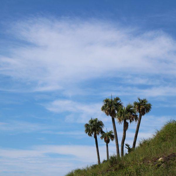 青空とソテツの木の写真