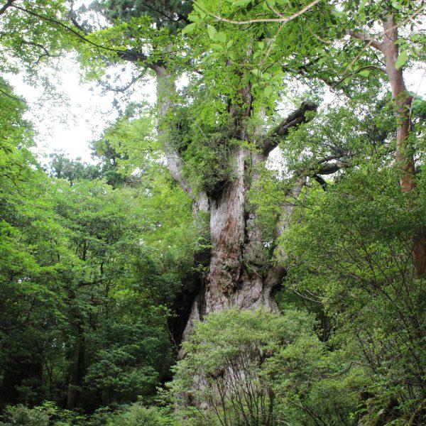 屋久島の縄文杉1の写真