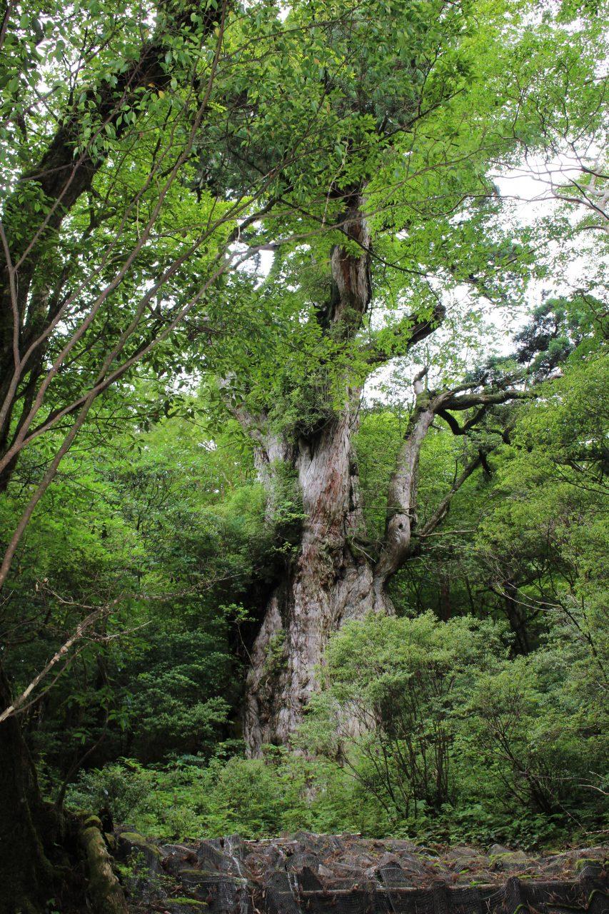 屋久島の縄文杉4の写真