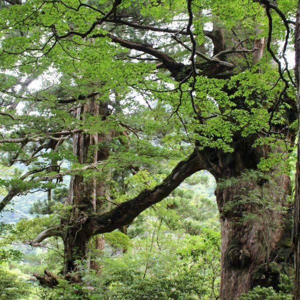屋久島の夫婦杉1の写真