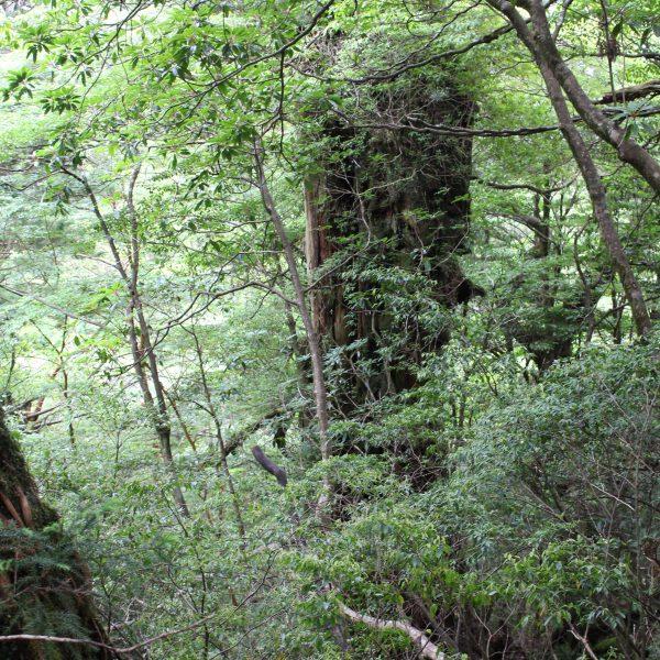 屋久島の森と巨木の写真