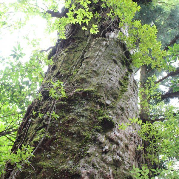 屋久島の森と巨木3の写真