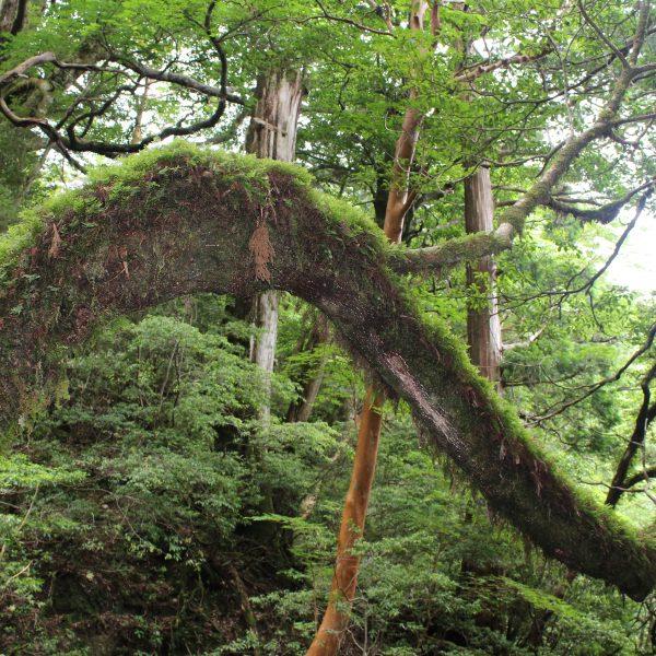 屋久島の森1の写真